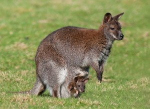 Eastern Grey Kangaroo Carrying Joey Wallpaper