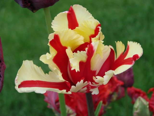 Flaming Parrot Tulip Wallpaper