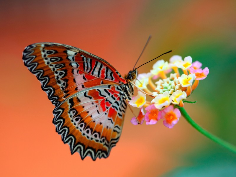 Flower Attracts Butterfly Wallpaper