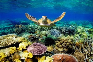 Great Barrier Reef Turtle Wallpaper