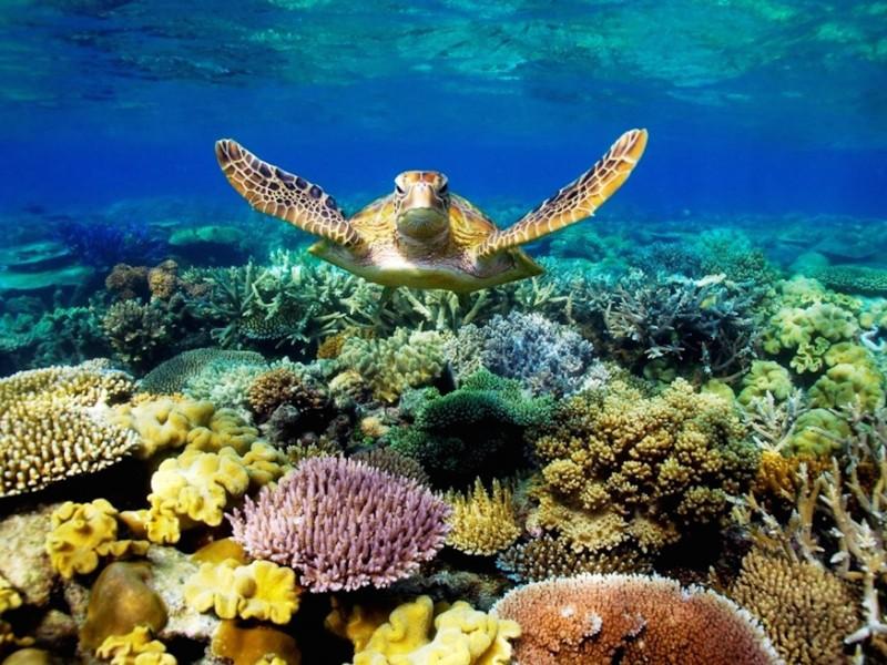 Great Barrier Reef Turtle Wallpaper Free Hd Download