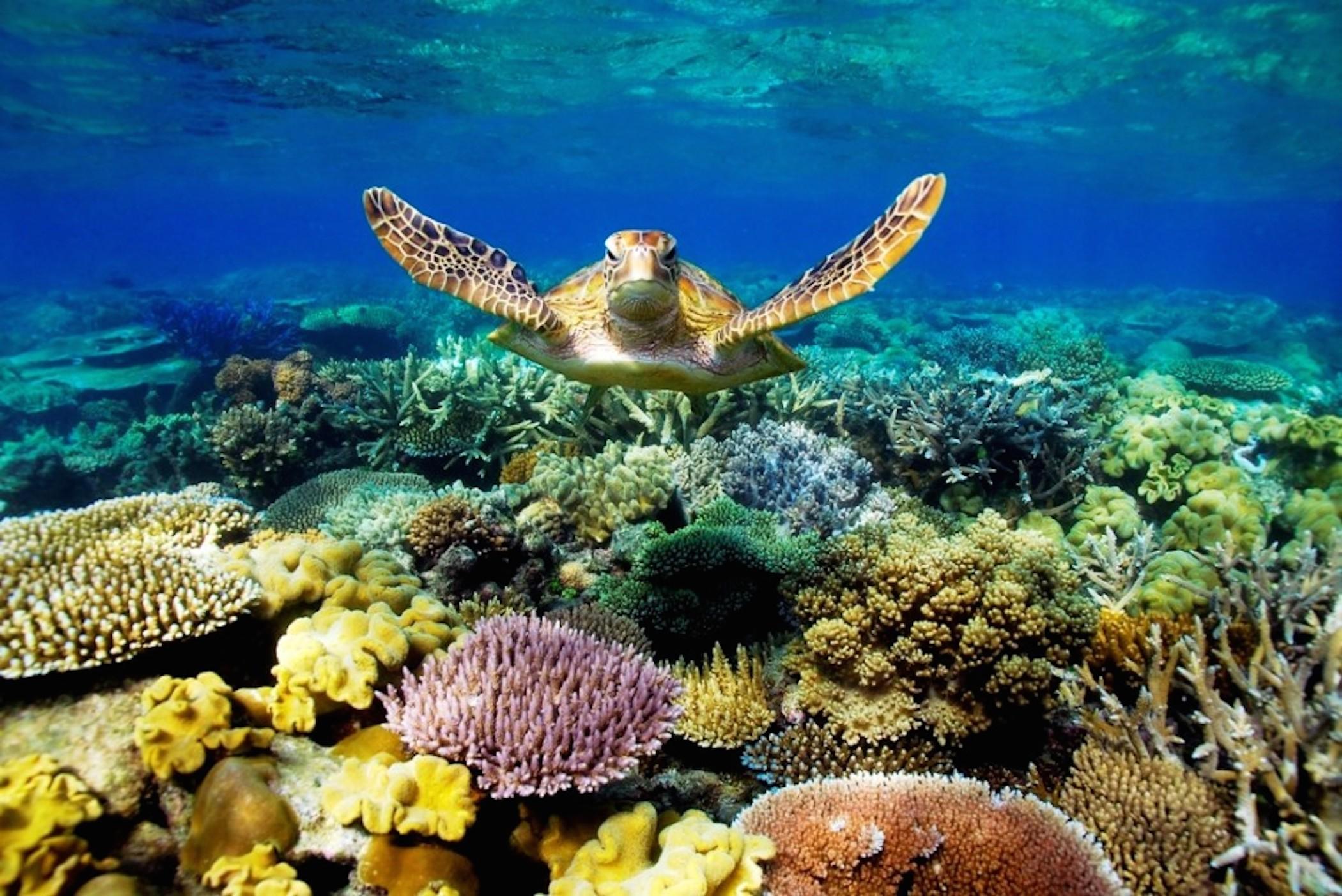 Great Barrier Reef Turtle Wallpaper
