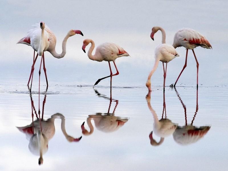 Greater Flamingos Fuente de Piedra Lagoon Spain Wallpaper