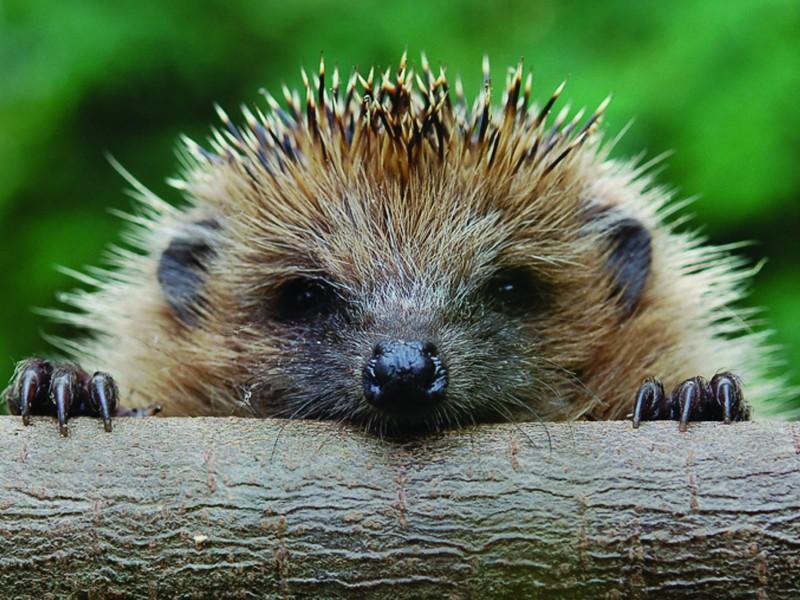 Hedgehog Spiny Mammal Wallpaper