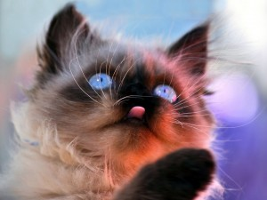 Himalayan Blue Eyed Cat Wallpaper-HD