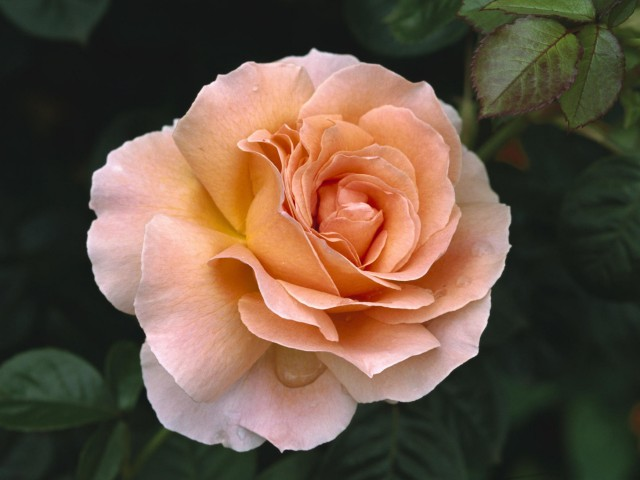 Hybrid Tea Rose Wallpaper