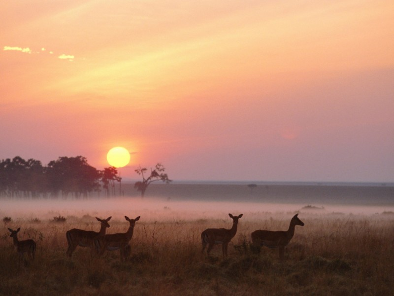 Impala Herd Masai Mara Reserve Kenya Wallpaper Free