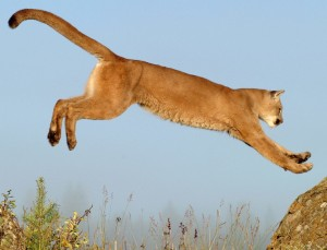 Leaping Cougar Wallpaper