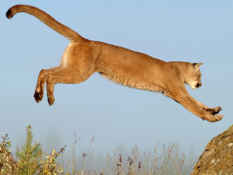Leaping Cougar Wallpaper