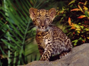 Leopard Cub Wallpaper
