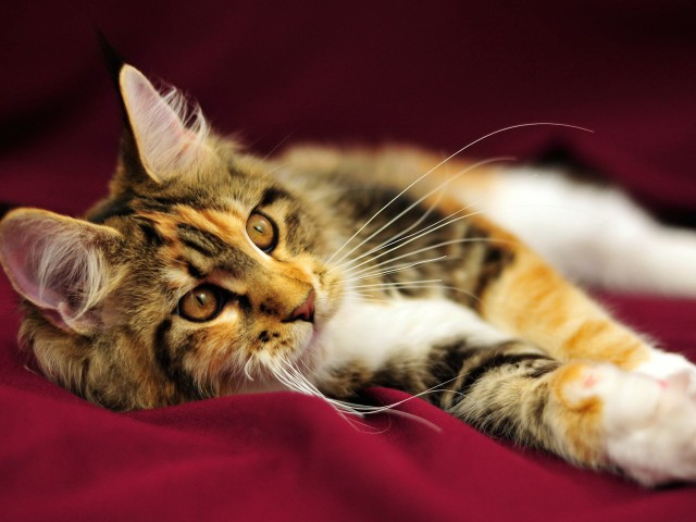 Maine Coon Kitten Longhair Wallpaper