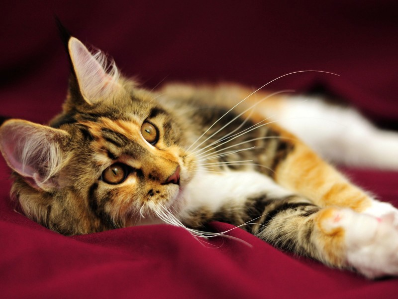 Maine Coon Kitten Longhair Wallpaper