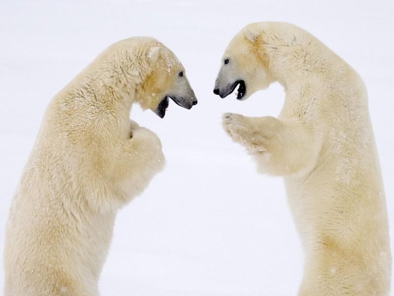Male Bears Sparring Hudson Bay Manitoba Canada Wallpaper