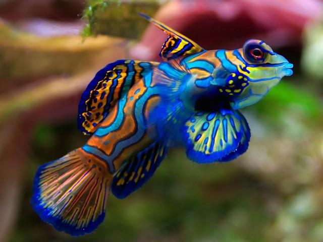 Mandarin Fish Wallpaper
