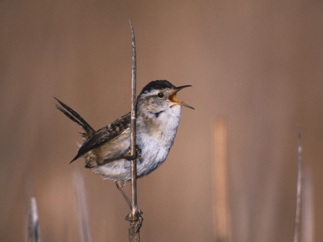 Marsh Wren Bird Wallpaper