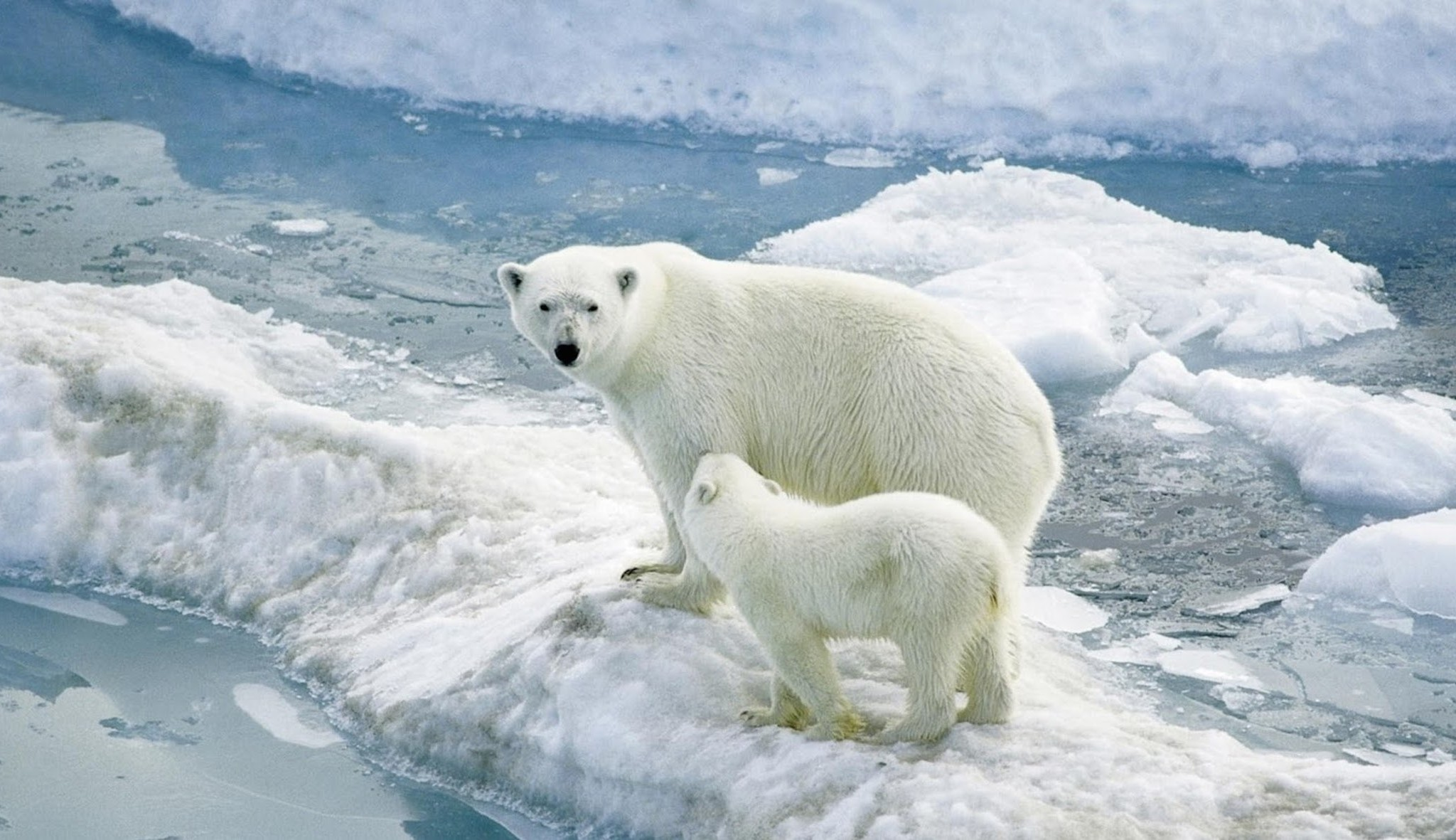 mom polar bear alongside cub wallpaper - free downloads