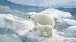 Mom Polar Bear Alongside Cub Wallpaper