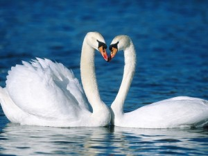 Mute Swans Affectionate Wallpaper