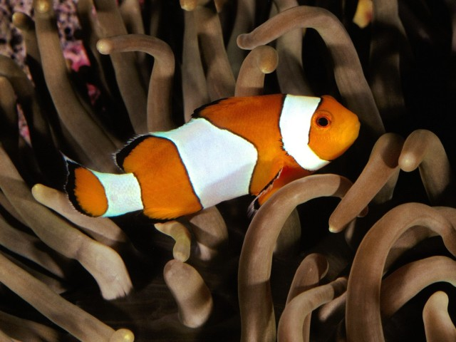 Percula Clownfish Indo Pacific Wallpaper