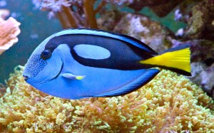 Powder Blue Tang Wallpaper-AKA Surgeonfish