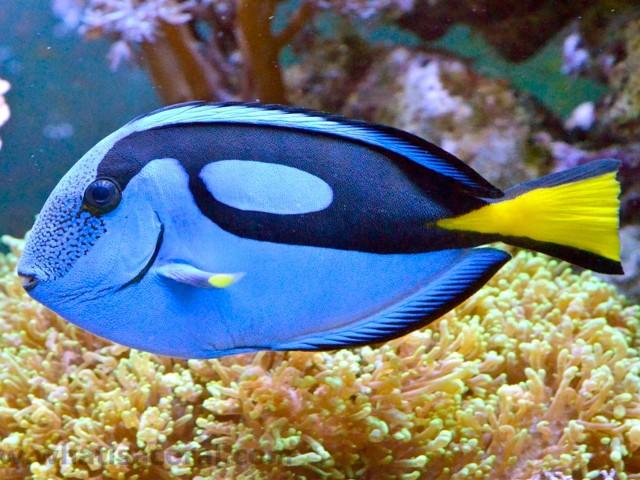 Powder Blue Tang Wallpaper-AKA Surgeonfish