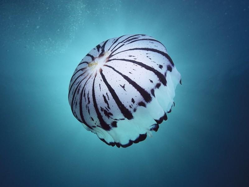 Purple Striped Jellyfish Monterey Bay CA Wallpaper