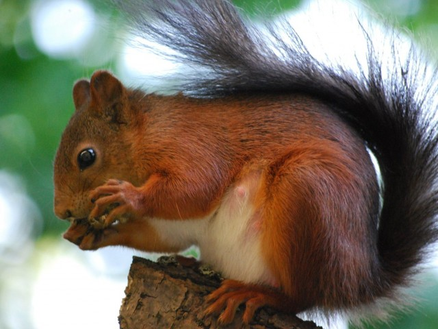 Red Squirrel Great Britain Wallpaper