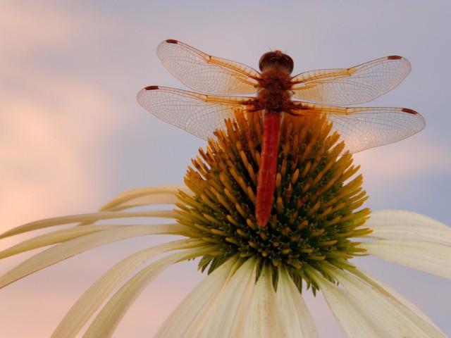 Red Veined Darter Dragonfly Wallpaper