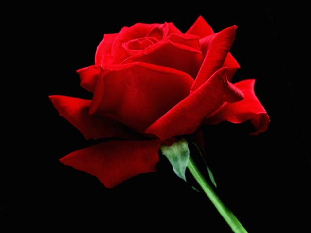 Single Red Rose Wallpaper