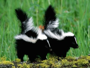 Skunk Babies Wallpaper