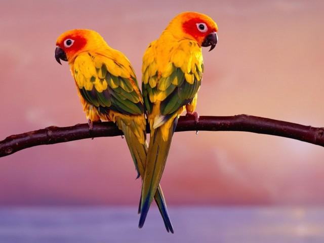 Sun Conure Parakeets Wallpaper
