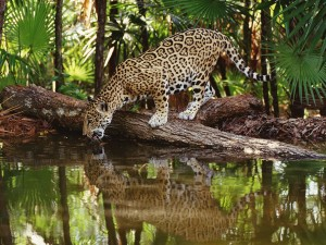 Thirsty Jaguar Wallpaper