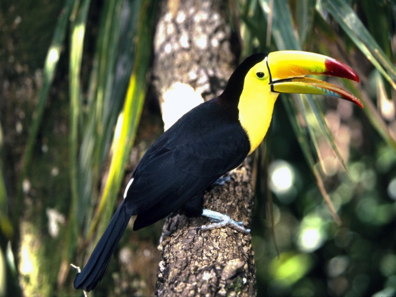 Toco Toucan South America Tropical Forest Wallpaper
