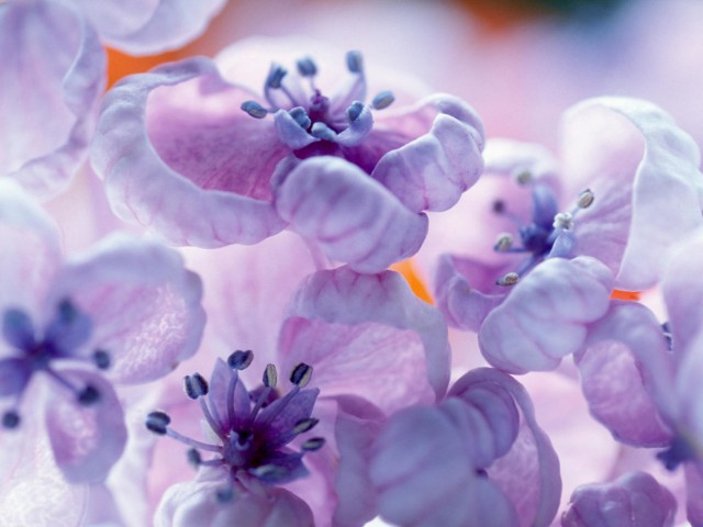 Violet Lilac Flowers Wallpaper