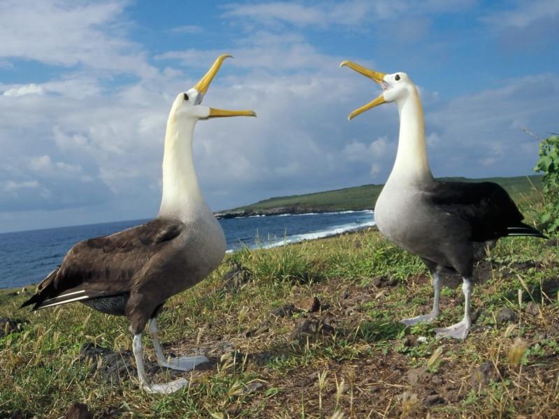 Waved Albatross AKA Galapagos Wallpaper