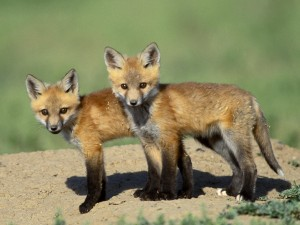 Wild Fox Cubs Wallpaper