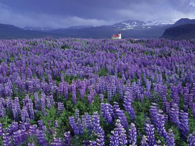 Wild Lupine Flower Landscape Wallpaper