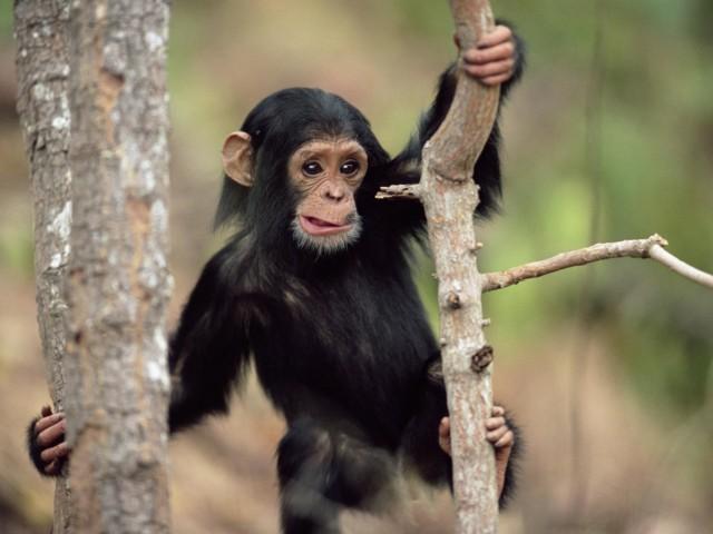 Young Chimpanzee Climbing Wallpaper