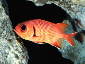 Blackbar Soldierfish Wallpaper