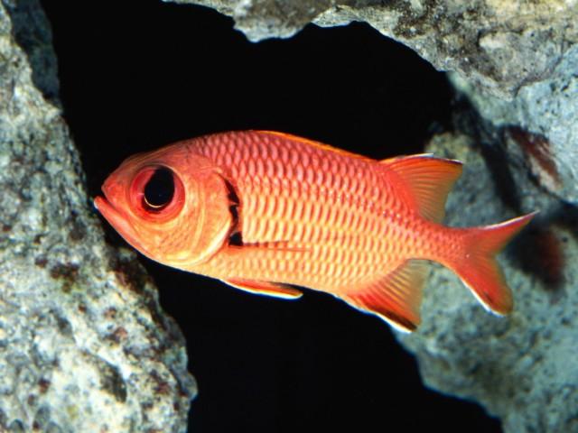 Blackbar Soldierfish Wallpaper