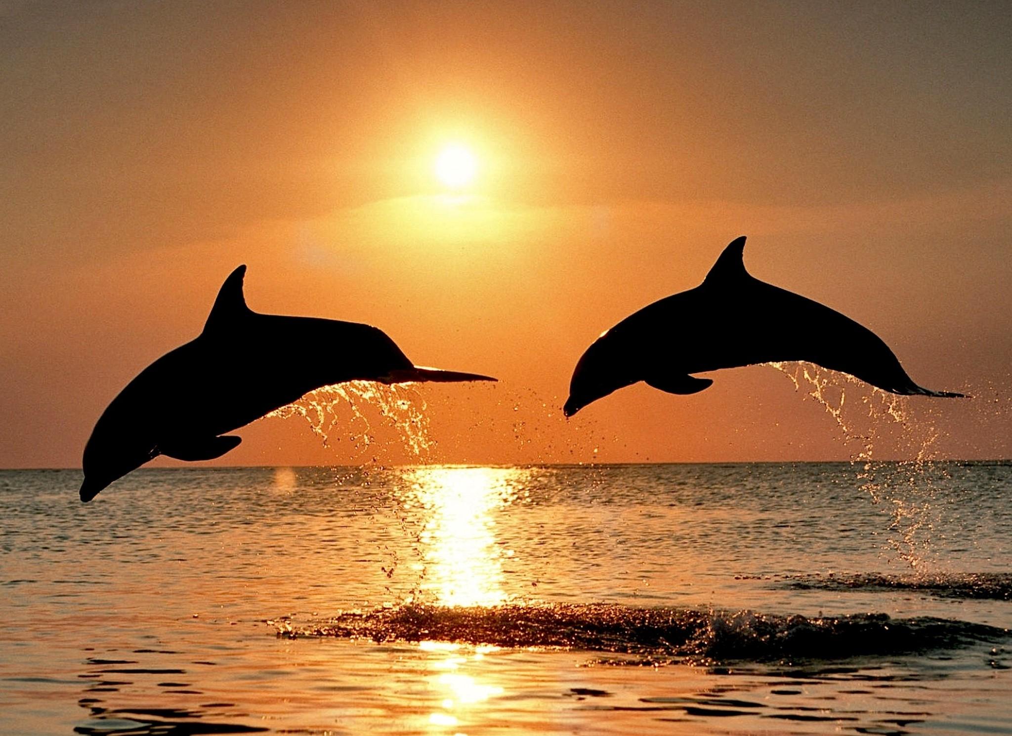 bottlenose dolphin wallpaper dolphins - photo #21