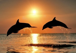 Bottlenose Dolphins Sunset Wallpaper