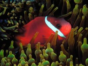 Cinnamon Clownfish Wallpaper