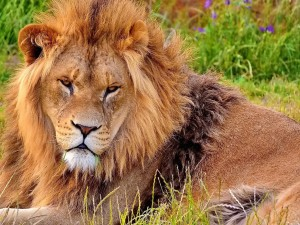 Dominant Male Lion Wallpaper