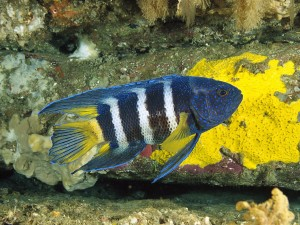 Eastern Blue Devil Fish Wallpaper
