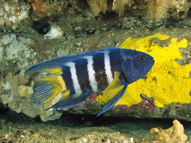 Eastern Blue Devil Fish Wallpaper