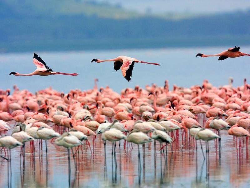 Flamingos-Lake Nakuru National Park-Kenya Wallpaper
