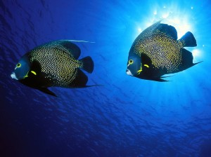 French Angelfish Mates Wallpaper