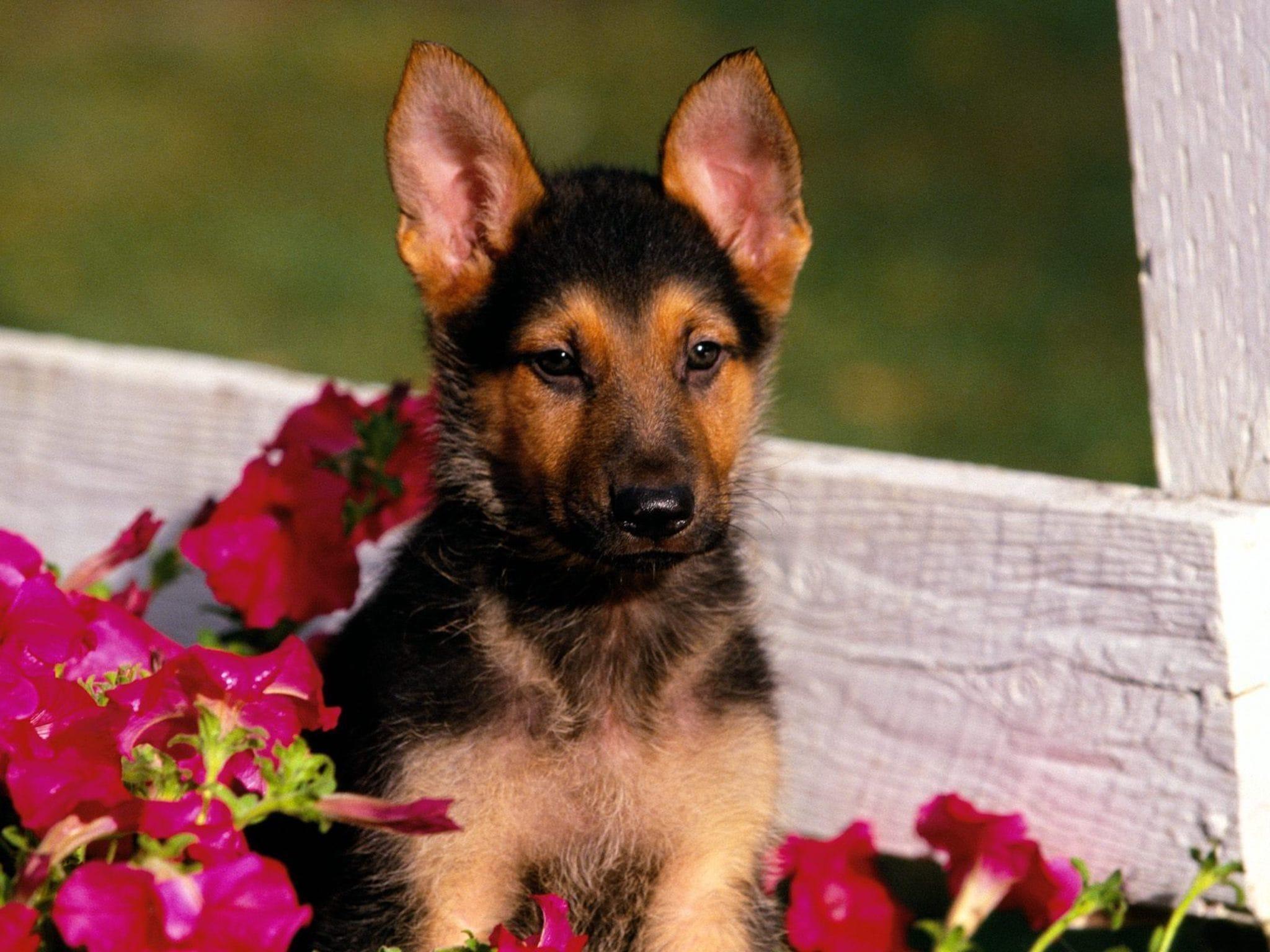 German Shepherd Puppy Wallpaper Free Hd Downloads
