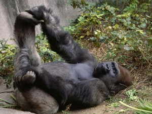 Gorilla Relaxing Wallpaper